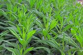 Phlox seedlings — Stock Photo