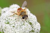 Dvoukřídlí syrphidae hmyz — Stock fotografie
