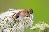 Diptera syrphidae insects — Stock Photo