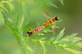 Syrphidae insects — Stock Photo
