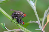 Red-headed flies — Stock Photo