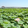 Stock Photo: Blossom lotus