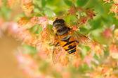 Syrphidae — Stok fotoğraf