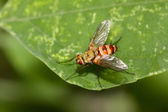 Muscidae insects — Stock Photo