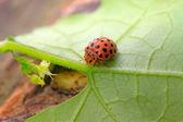 Potato ladybird — Stock Photo