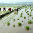 Rice seedling transplanting in rural China — Stock Photo #27699981