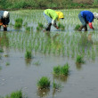 Rice seedling transplanting in rural China — Stock Photo #27699991