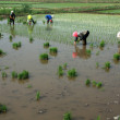 Rice seedling transplanting in rural China — Stock Photo #27700015