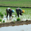 Rice seedling transplanting in rural China — Stock Photo #27700197