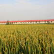 Stock Photo: Rice scenery