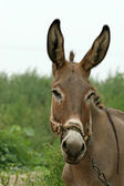 Donkey in the fields — Stock Photo