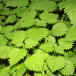 Green plant leaves — Stock Photo
