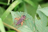 Cricket nymphs — Stock Photo
