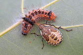 A stinkbug hunting the caterpillar — Stock Photo