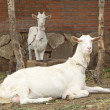 Two goats in a ground — Stock Photo #28893267