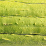 Green towel gourd skin — Stock Photo #29952961