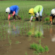 Rice seedling transplanting in rural China — Stock Photo #30705509