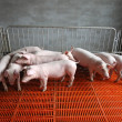 Piglets in enclosure — Stock Photo #30706589