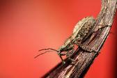 Stinkbug — Stock Photo
