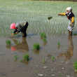 Stock Photo: Rice seedling transplanting in rural China