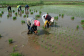 Rice seedling transplanting in rural China — Stock Photo