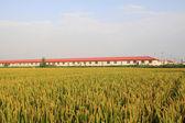Rice scenery — Stock Photo