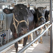 Dairy cows in the milking parlor — Stock Photo