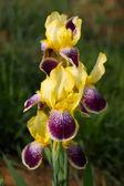 дикий ирис цветы — Стоковое фото