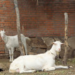 Two goats in a ground — Stock Photo #32454029