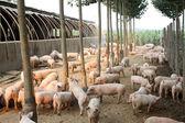 Schweine in der farm — Stockfoto
