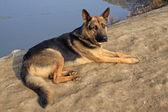 Dog layon the ground — Stock Photo