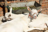 Goats snuggle each other — Stock Photo