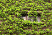 Ivy and windows — Stock Photo