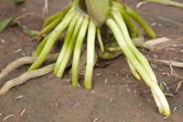 Maize root — Stock Photo