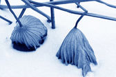 Dry lotus leaf in the snow — Stock Photo