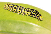 Butterfly larva in a leaf — Stock Photo