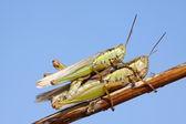 Mating locusts — Stock Photo