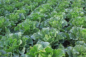 Green chinese cabbage — Stock Photo