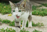 Meowing kitten — Stock Photo