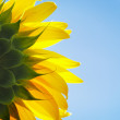Beautiful bright yellow sunflowe — Stock Photo