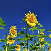 Beautiful bright yellow sunflower, — Stock Photo