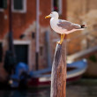 Royalty-Free Stock Photo: Seagull in Venice