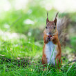 Eurasired squirrel (Sciurus vulgaris) — Stock Photo #13260793