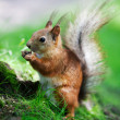 Eurasired squirrel (Sciurus vulgaris) — Stock Photo #13260807