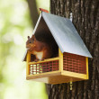 Eurasian red squirrel (Sciurus vulgaris) — Stock Photo