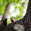 Eurasian red squirrel (Sciurus vulgaris) - Stock Photo