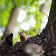 Eurasired squirrel (Sciurus vulgaris) — Stock Photo #13260888