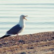 Common Gull (Larus canus) - Stock Photo