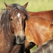 Horses (Equus ferus caballus) - Stock Photo