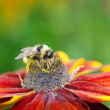Honey bee (Apis mellifera) on cone flower - Stock Photo